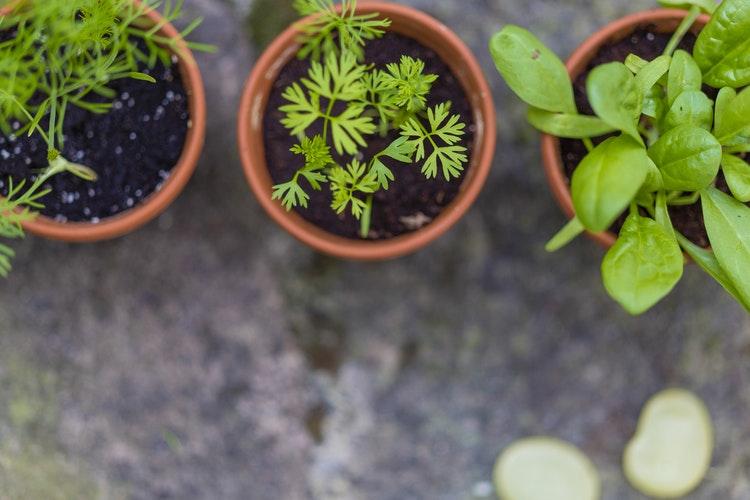 fájdalomcsillapító gyógynövények ízületi fájdalmak kezelésére