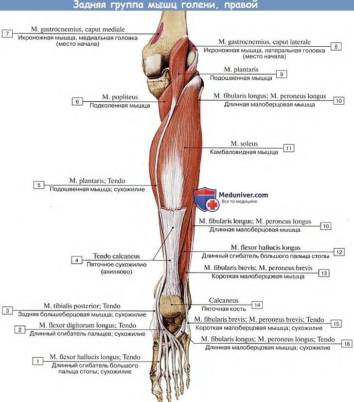 fájdalom a boka ízületében és a borjúizomban)