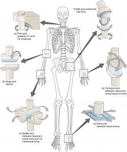 ízületi mobilitás)