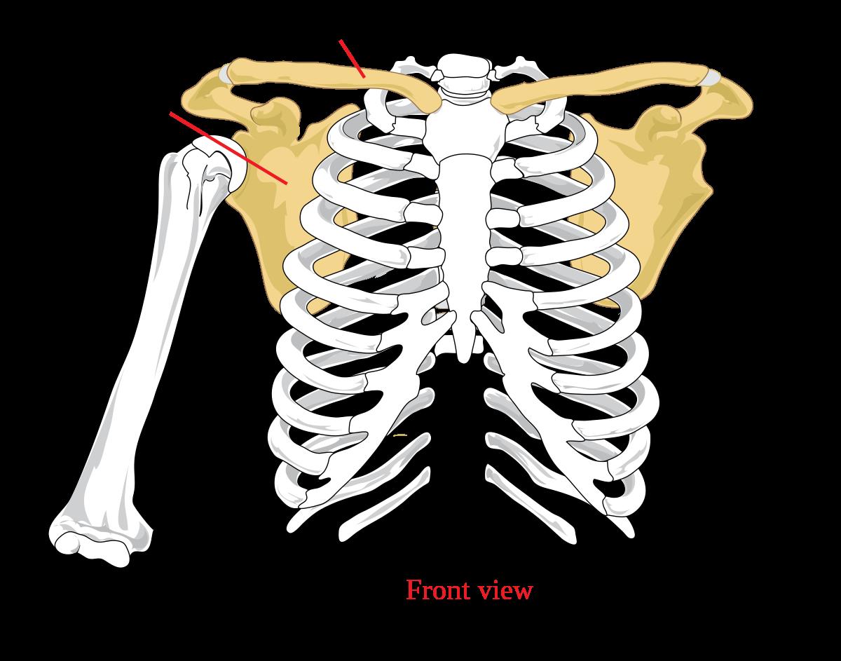 sternoclavicularis ízületi betegség