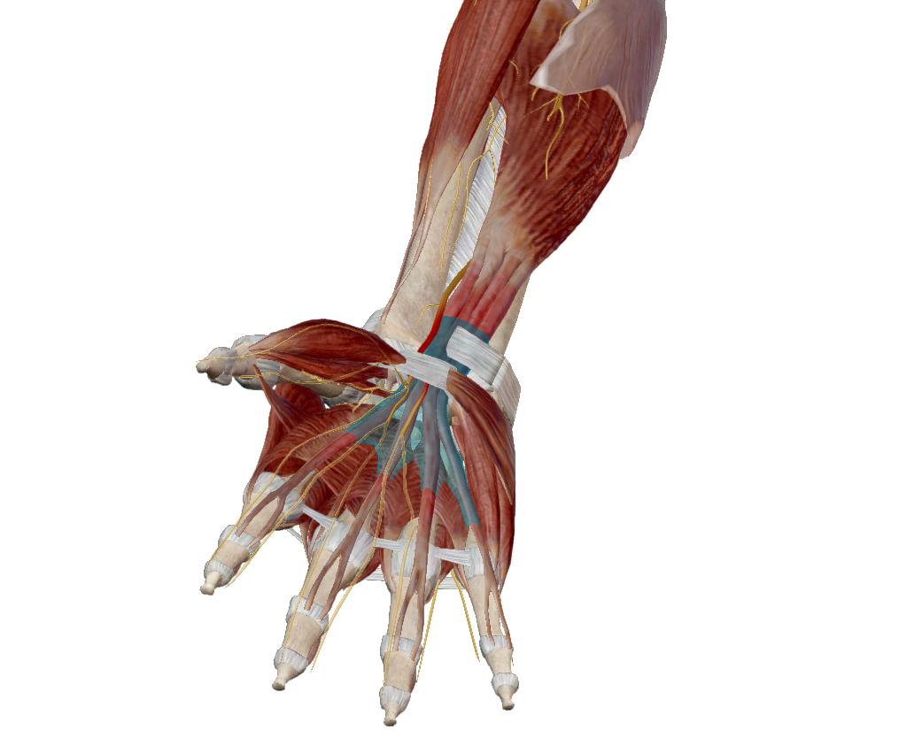 bordacsigolyás artrózis kezelés áttekintése ízületi szalagok kezelésére