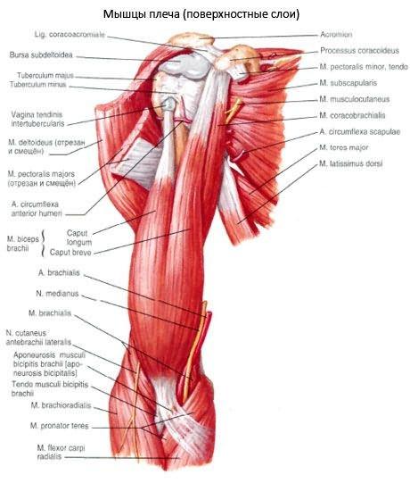 brachialis artrózis kezelés áttekintés)