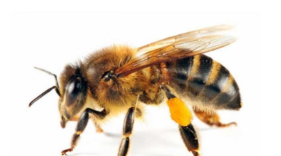 Csípések és szúrások: méh-, és darázsszúrás - EgészségKalauz