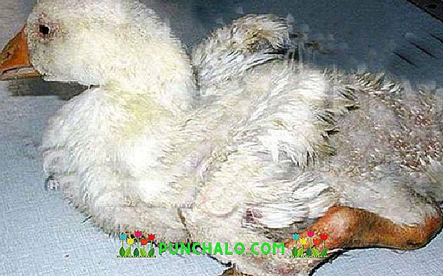 a madár ízületi betegségben szenved