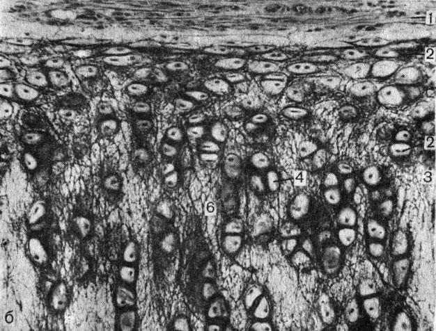 hisztogenezis és porc regeneráció